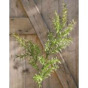 Plastik Asparagus sprengeri Zweig CRISTIANO, 80cm
